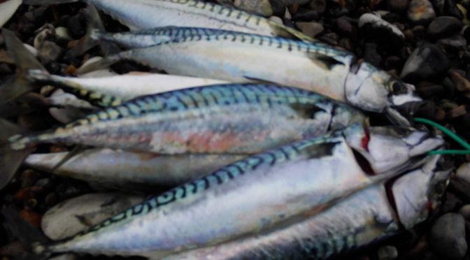 Makrel ved Hanstholm